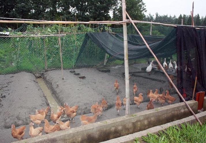Ningbo - Vagrant Fellowship - chickens & geese-ed-min